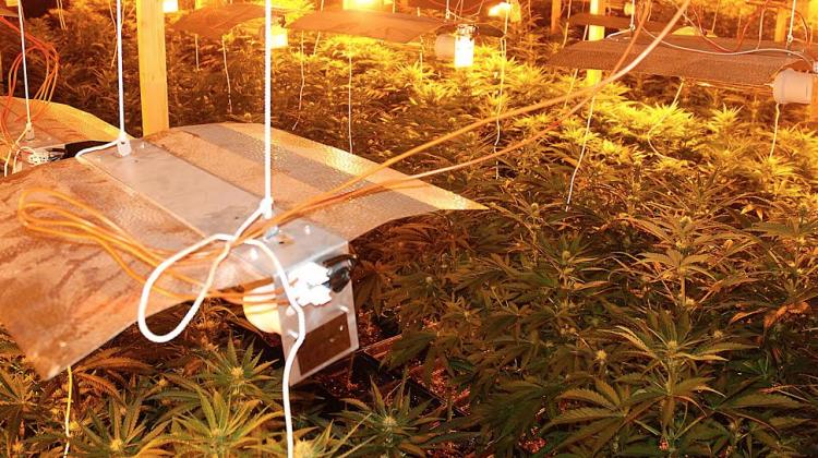 Plantación de marihuana interceptada