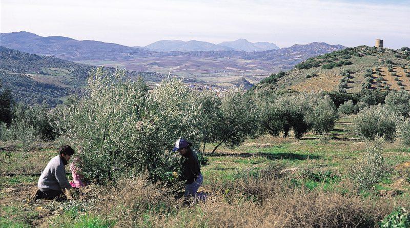 Diputación pide ayudas a la Junta para ejecutar 4 proyectos que hagan más rentable el sector oleícola jiennense