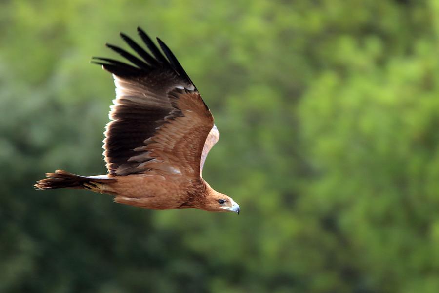El águila imperial ibérica reina en Andalucía
